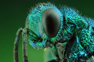 cuckoo_wasp___portrait_by_alhabshi-d58nxo1