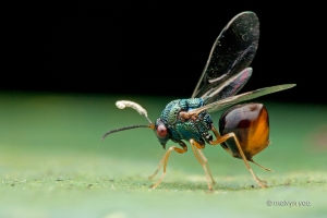 eucharitid_wasps_by_melvynyeo-d5pbvrl