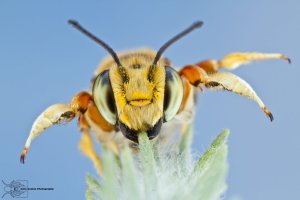 leaf_cutting_bee___megachile_albitarsis_by_colinhuttonphoto-d5w3sha
