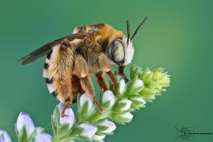 long_horned_bee_by_colinhuttonphoto-d5v6yk1
