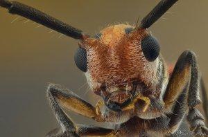 long_horned_beetle_by_alhabshi-d55kagd